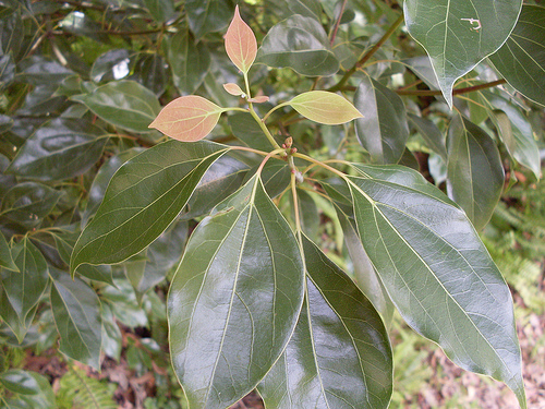 beneficios del laurel
