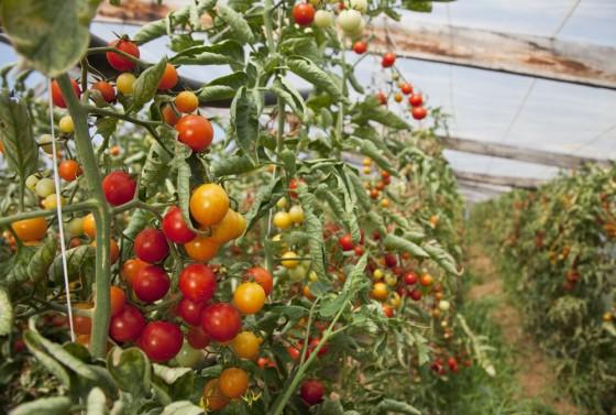 plantas de tomates bonnatur