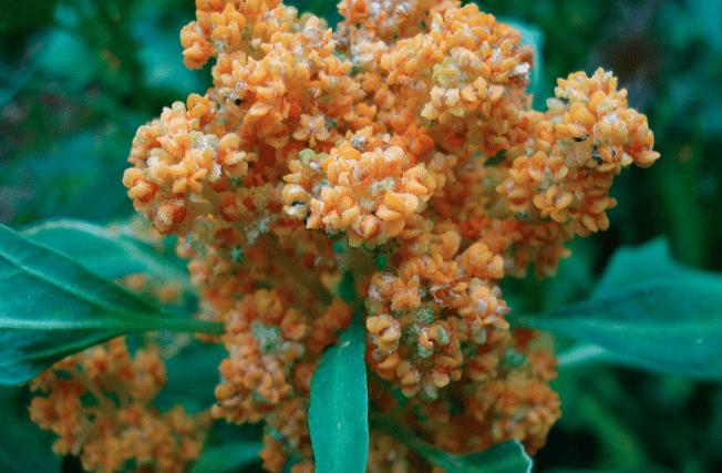 flor quinoa
